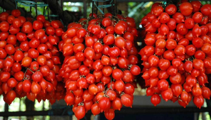 Il pomodoro del Piennolo: Un'antica tradizione dell'agricoltura campana